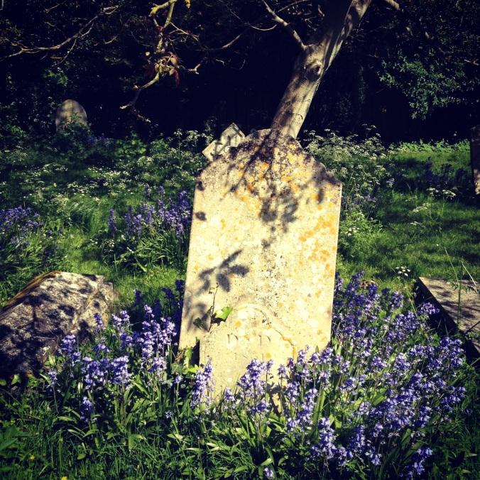 Bluebells in Bosham churchyard